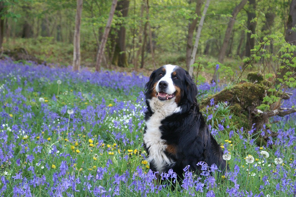Australian Shepherd has seasonal allergy
