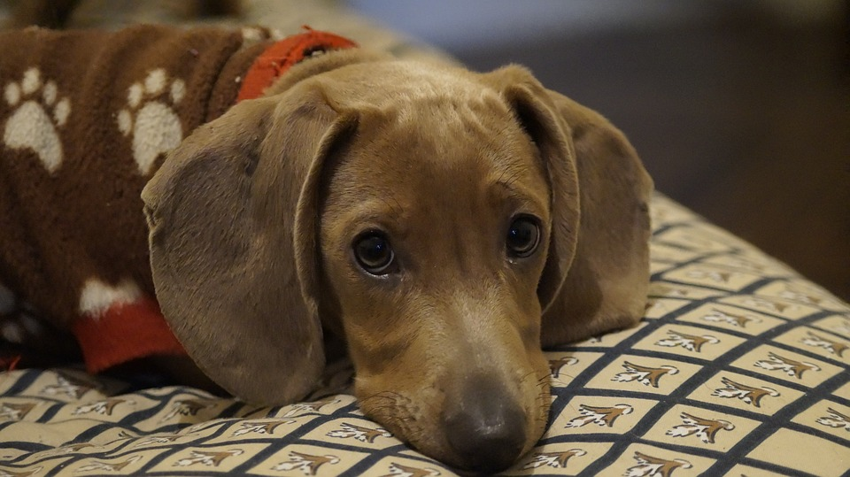 Dachsund lying on his bed