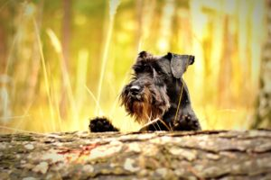 Scottish Terrier looking at his dog food