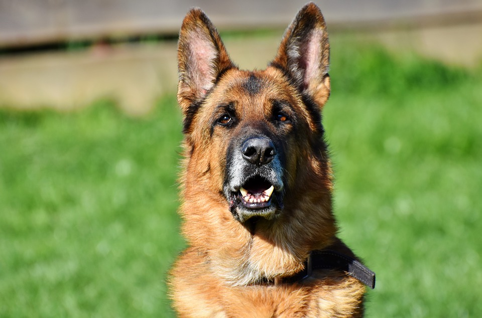 Best Dog Food For German Shepherds With Sensitive Stomachs: GSD looking at his dog food