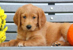 Labradoodle puppy sitting on a bench