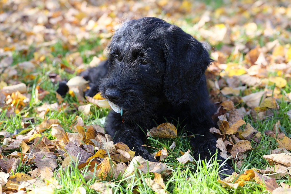 Labradoodle puppy lying on the ground